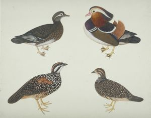 Aix galericulata, Mandarin duck and other birds