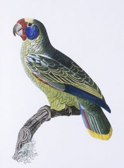 Amazona dufresniana, blue-cheeked parot