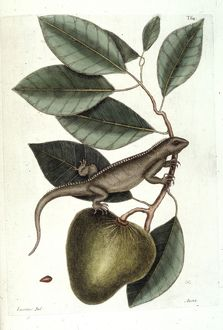 Annona glabra, pond apple