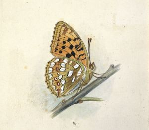 Arygynnis adippe, high brown fritillary
