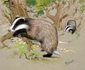 Two Badgers in a wood