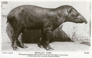 new items grenville collins collection/brazilian tapir native thick swampy forests