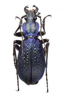 Carabus intricatus, blue ground beetle