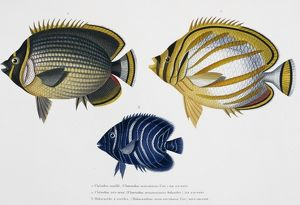 Chaetodon sp. butterflyfish