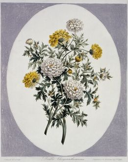 Chrysanthemum sp., chrysanthemums