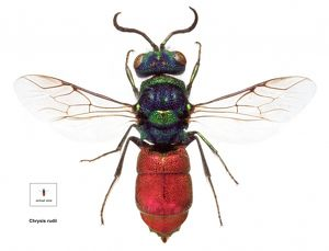 Chrysis rudii, ruby-tailed wasp