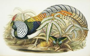 Chrysolophus amherstiae, Lady Amherst's pheasant