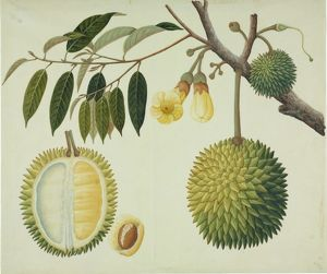 Durio zibethinus, durian fruit