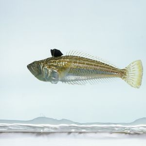 Echiichthys vipera, lesser weever fish