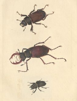 English Insects illustration of Stag beetles by James Barbut