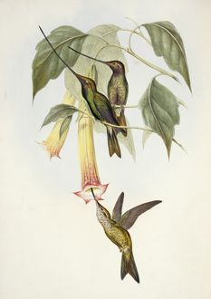 Ensifera ensifera, sword-billed hummingbird
