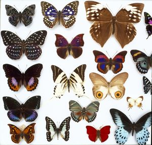 Entomological specimens of Lepidoptera