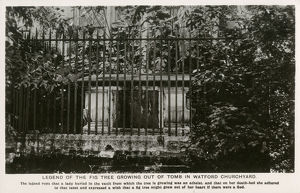 new items grenville collins collection/fig tree growing tomb watford churchyard
