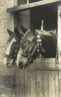 A fine portrait of two working horses in their stall