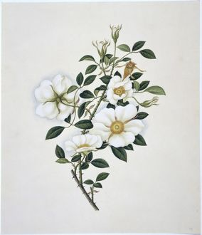 Flower Illustration from the Reeves Collection