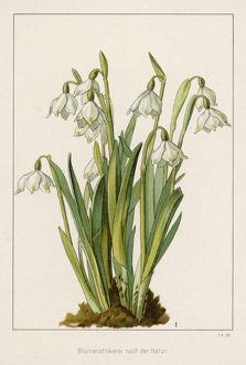 GALANTHUS CLUSTER