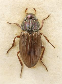 Helophorus laticollis, water beetle