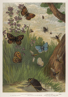 HOLLY BUTTERFLY 1860