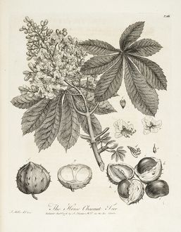 Horse chestnut tree; 'Horse-Chesnut tree'.