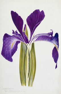 Iris xiphioides, English Iris