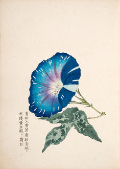 Japanese Morning Glory (1)