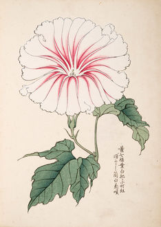 Japanese Morning Glory (2)