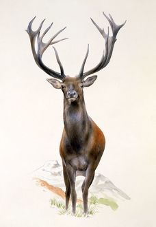 A Large Red Deer stag