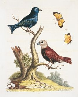 Lonchura maja, white-headed munia and an unidentified bird
