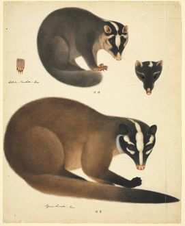 Melogale moschatta, Chinese ferret badger