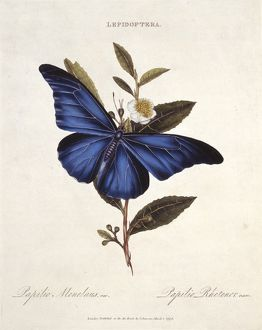 Morpho rhetenor, blue morpho butterfly