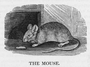 MOUSE (BEWICK)