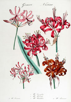 Nerine: six varieties.