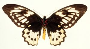 Ornithoptera aesacus, birdwing butterfly