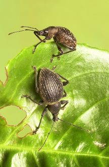 Otiorhynchus armadillo and O. salicicola, armadillo weevil
