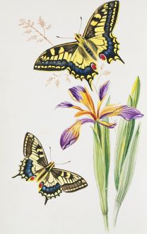 Papilio machaon, swallowtail