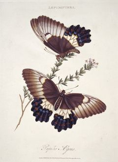 Papilio sp., butterflies