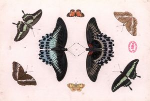 Papilio sp. and Cymothoe althea, swallowtails