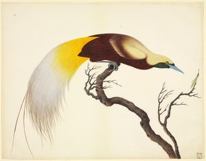 Paradisaea minor, lesser bird-of-paradise