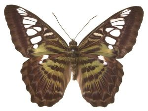 Parthenos sylvia virens, clipper butterfly