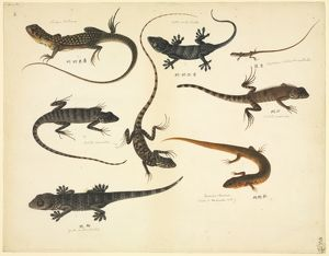 Plate 102 from the John Reeves Collection (Zoology)