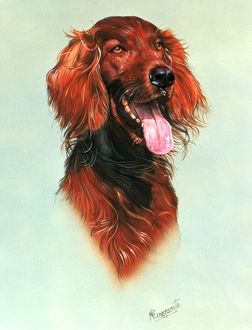 Portrait of a Red Setter
