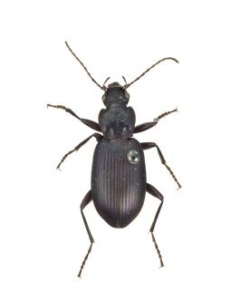 Pristonychus complanatus, black ground beetle