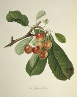 Prunus sp., cherry (Bigarreau Cherry)