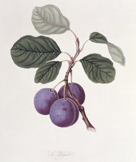 Prunus sp., plum (La Royale Plum)