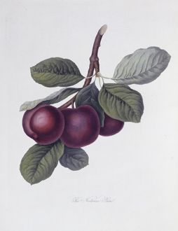 Prunus sp., plum (The Nectarine Plum)