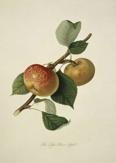 Pyrus sp., apple (Sykehouse Apple)