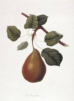 Pyrus sp., pear (The Brown Beurre Pear)