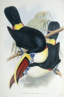 Ramphastos vitillenus, channel-billed toucan