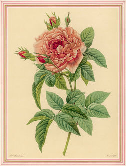 REDOUTE PINK ROSE