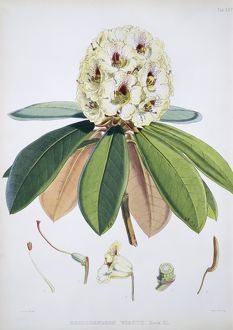 Rhododendron sp., rhododendron